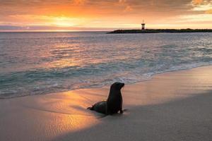 baby pelsrob op punta carola, galapagos eilanden foto