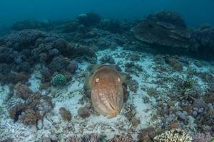 inktvis op koraalrif