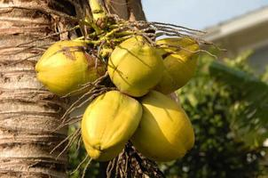 groene kokosnoten foto