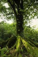 grote boom in het ke'anae arboretum, maui, hawaii foto