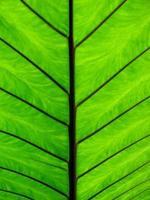 close-up van taro blad achterkant
