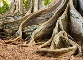 moreton laurier vijgenboomwortels foto
