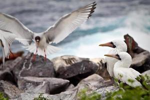 twee gemaskerde jan-van-genten op een rots en een zwaluwstaart foto