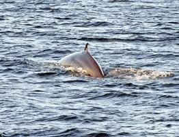 bryde's walvissen, galapagos eilanden foto