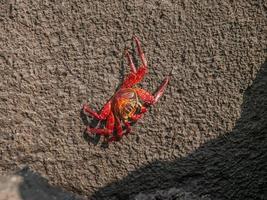 sally lighfoot crab foto