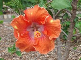 oranje hibiscus foto