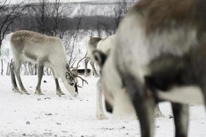 rendieren in het arctische noorden foto
