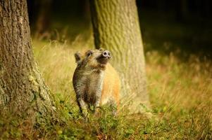 wilde zwijnenbaby die tussen boomstammen snuift foto