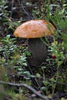 enkele paddenstoel