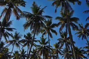 palmboom, foto