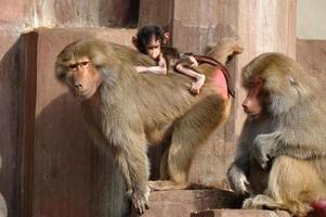 monky familie foto