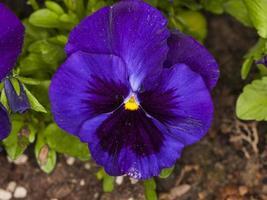 altviool driekleur (familie: violaceae) foto