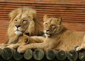 leeuw familie foto