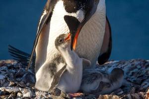 pinguïn familie foto