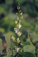bloemen van lablab purpureus foto
