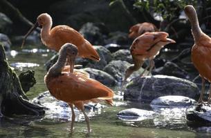 dieprode ibis-familie foto
