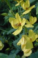 patrijs erwt bloemen foto