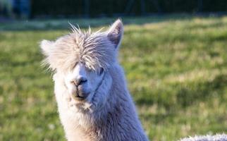 alpaca portret foto