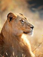 leeuwin portret foto