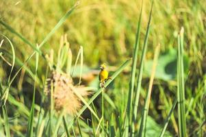 Aziatische gouden wever foto
