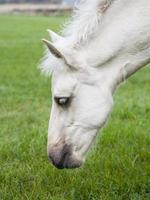 wit finnhorse veulen foto