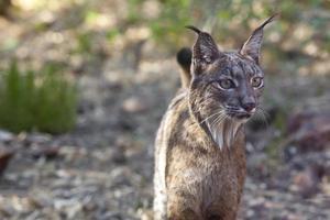 Iberisch lynxportret foto