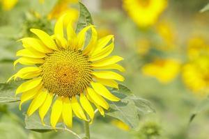portret zonnebloem. foto