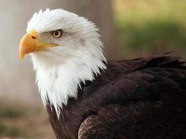 bald eagle portret foto