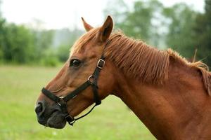 paard portret