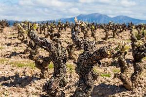 wijngaard close-up foto