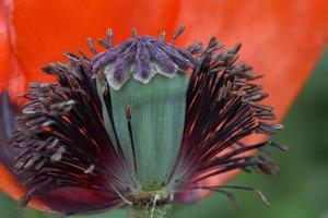 klaproos close-up foto