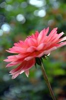 dahlia close-up foto