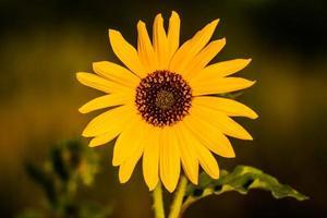 close up zonnebloem