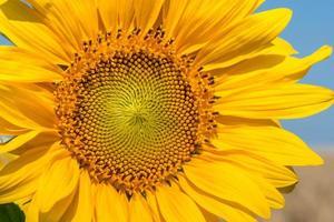 zonnebloem close-up