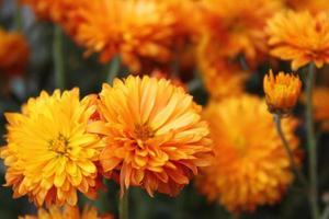 chrysanthemum dichte omhooggaand foto