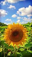 zonnebloem close-up foto
