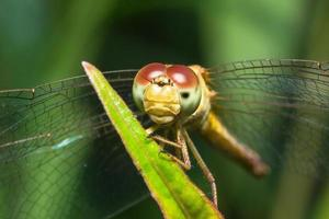 Dragonfly close-up foto