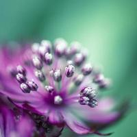 close-up van astrantia