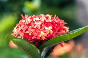 close-up hortensia foto