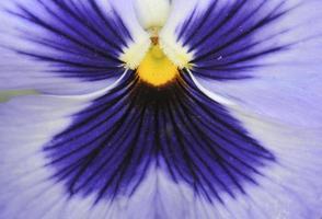 viooltje close-up foto