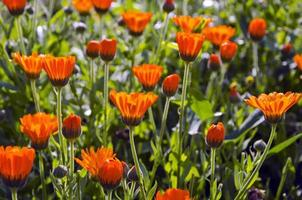 verse zomerse goudsbloem calendula medische bloemen foto