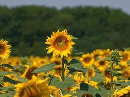 zonnebloem in het veld foto