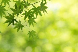groene esdoorn in Japan foto