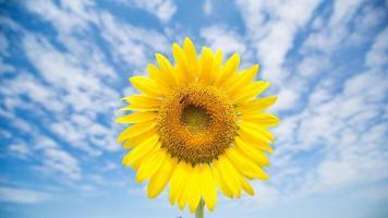zonnebloem tegen een blauwe hemel. foto