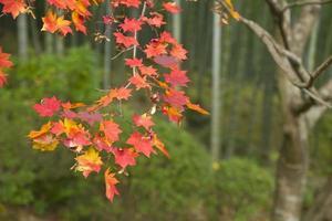 rode bladeren foto