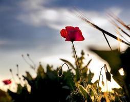 klaproos bij zonsondergang met mooie blauwe hemel foto