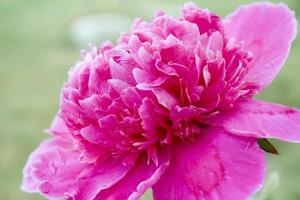 roze pioen foto