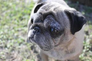 pug hond foto