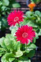 rode gerberabloemen foto