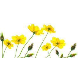 gele kosmosbloem die op witte achtergrond wordt geïsoleerd foto